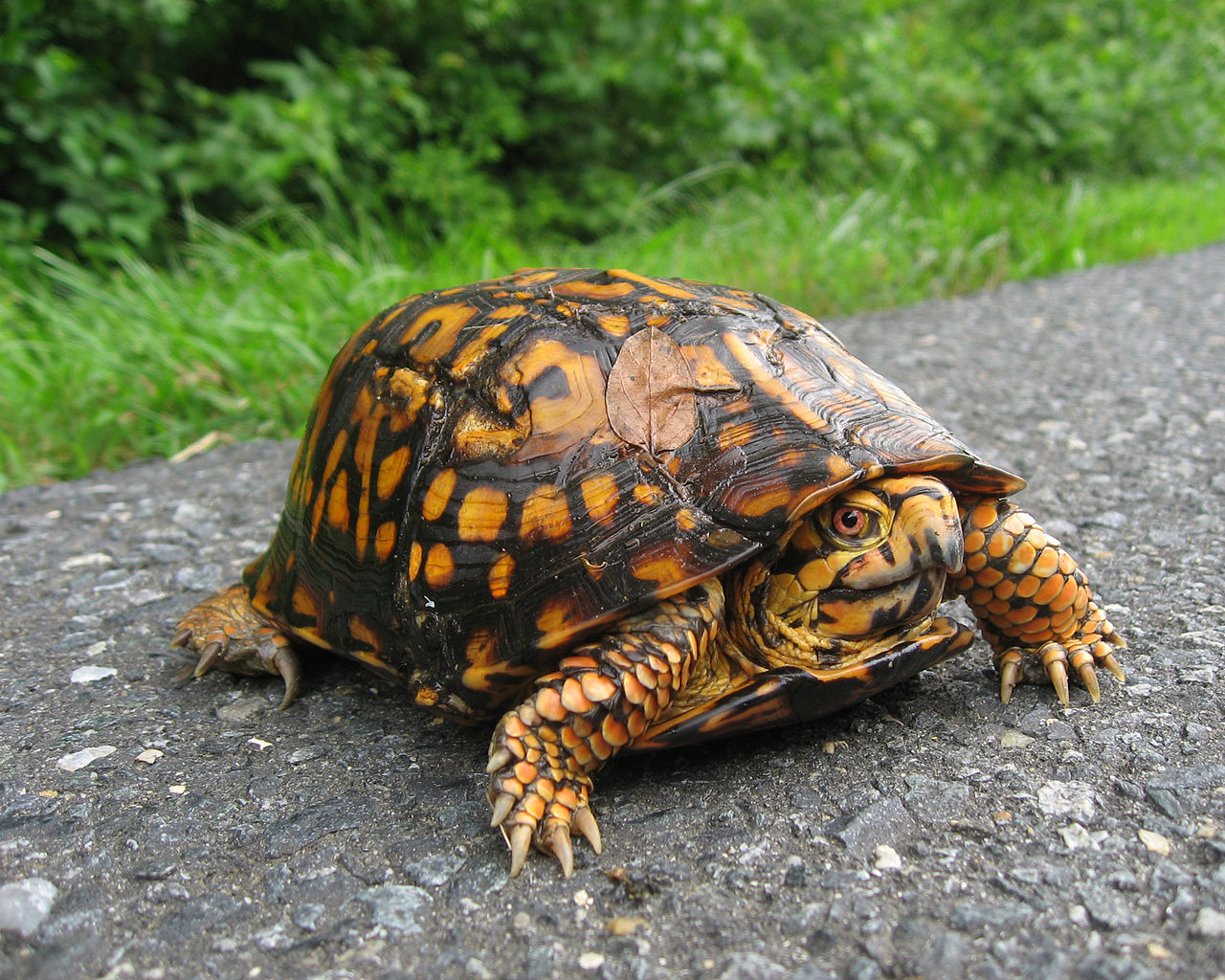 The eastern box turtle, which is commonly kept as a pet, is smaller than the gopher tortoise.  Credit: Eastern Box Turtle, Terrapene carolina carolina. (Jim Lynch, NPS; cc by-sa 2.0) website for more info on box tortoises:  https://www.welcomewildlife.com/all-about-box-turtles/#prettyPhoto