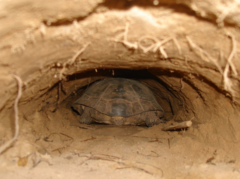 Because a gopher tortoise creates its borrow using its body, the size of a den can indicate the relative size of its inhabitant. Photo by FWC.