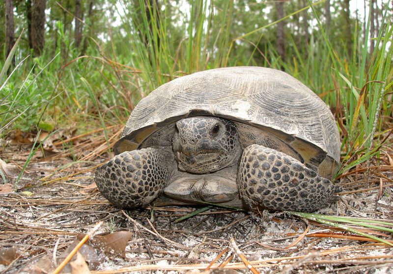 The bony structure protruding from the front of a male gopher tortoise is called the lamina, used to joust other males for competition over territory and mates. Photo by FWC.