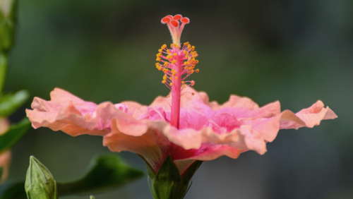 """A swamp hibiscus has five pink petals, a maroon-colored central tube, and a long pistil reaching out past the petals, ending with a pink knob. The flowers open in the late afternoon and close by noon the following day. Photo """"Hibiscus"""" by PMillera4 is licensed under CC BY-NC-ND 2.0."""