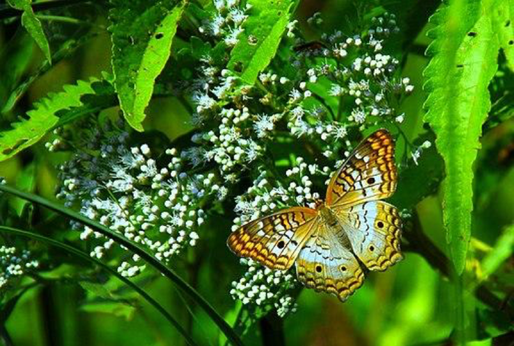 White peacock butterfly at Lake Woodruff pools. Photo by Andrea Westmoreland [CC BY-SA 2.0 (https://creativecommons.org/licenses/by-sa/2.0)]