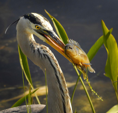 A great blue heron at Lake Woodruff spears lunch. Photo by Andrea Westmoreland [CC BY-SA 2.0 (https://creativecommons.org/licenses/by-sa/2.0)]