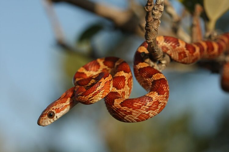 Also known as the Eastern corn snake, this nonvenomous snake constricts its prey.  Learn more.  Photo by Moses Michelshon.