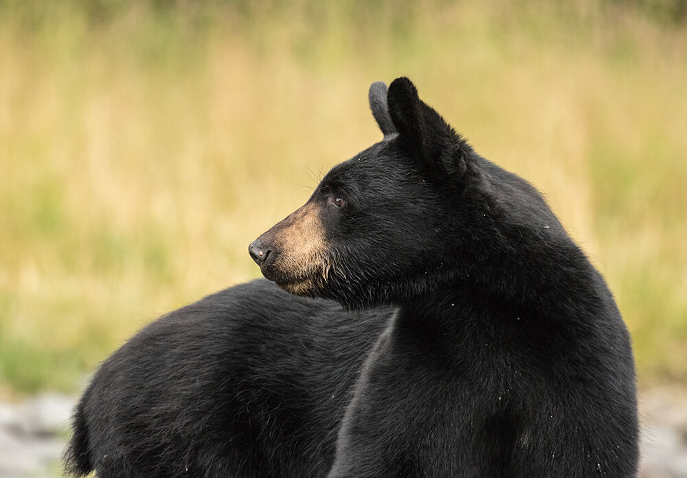 The Ocala National Forest is home to the state's largest population of Florida black bears, according to the U.S. Forest Service.