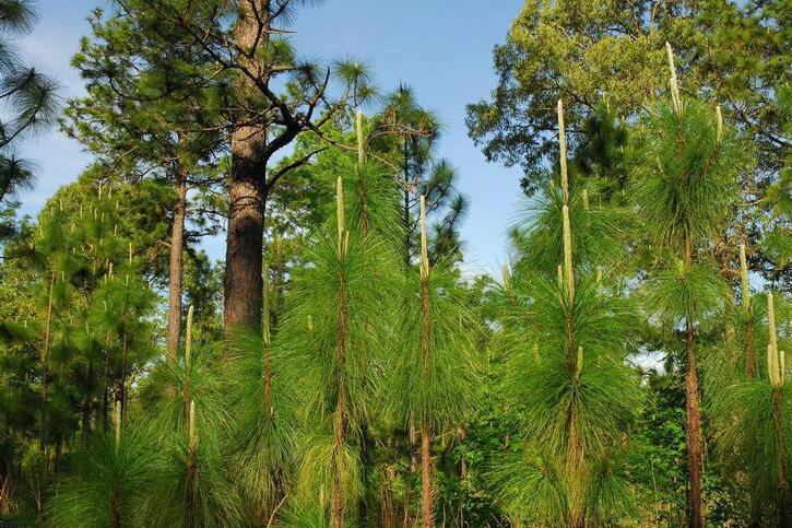 Longleaf pines once covered over 90 million acres, but this incredible ecosystem has be reduced by more than 90%. Protection and restoration efforts are underway throughout the Southeastern United States. Photo by Erich G. Vallery, USDA Forest Service.