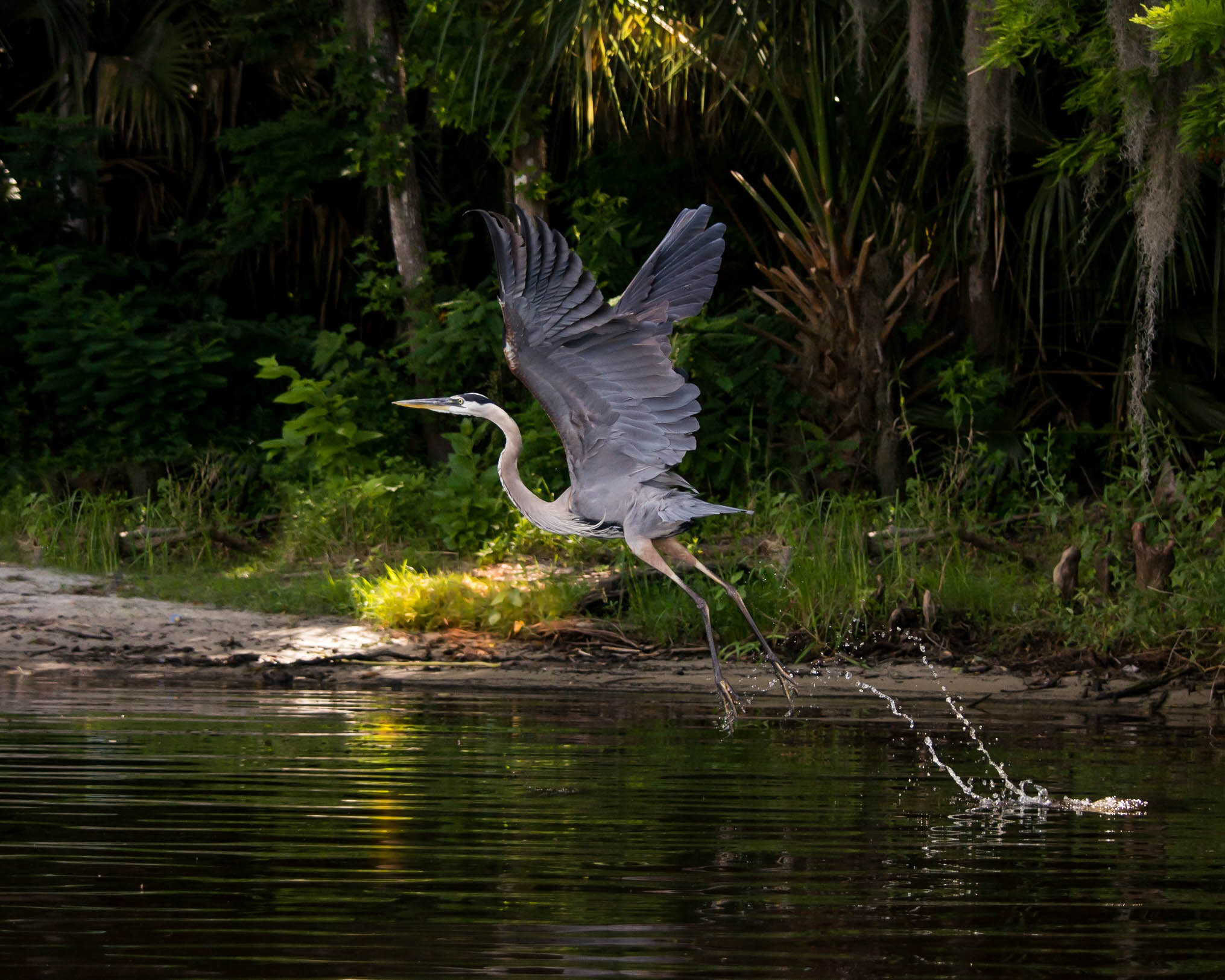 A great blue heron taking flight over the Wekiva River, which is located in the Wekiva to Ocala Corridor. Photo by Tanner Diberardino.