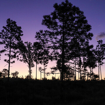 Longleaf Pine Habitat - Over 8,000 acres of forested lands in Northwestern Florida. Photo by Jessica Modriskey.