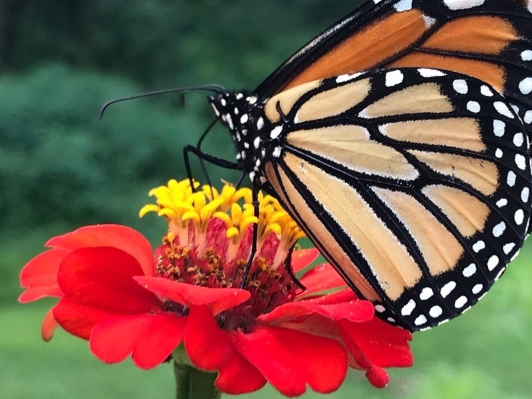 How does a very hungry caterpillar turn into a beautiful butterfly? - Meet with Monarch maniac Carrie Driehaus as she teaches kids about the butterfly life cycle, Monarch migration and other fun facts about Monarch caterpillars and butterflies! Students will even get to check out real eggs, caterpillars, chrysalides and butterflies, as available!