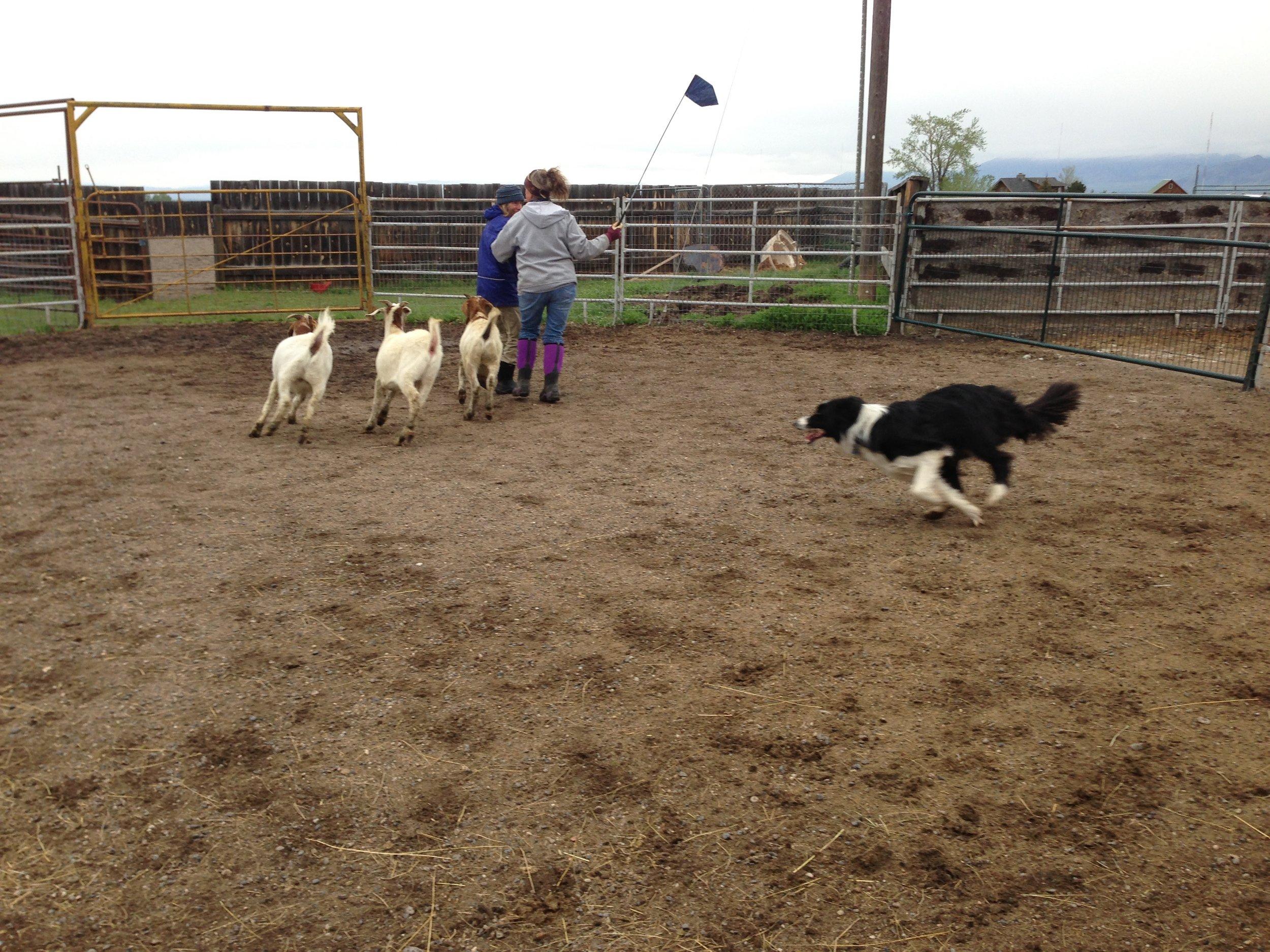 Herding in action -