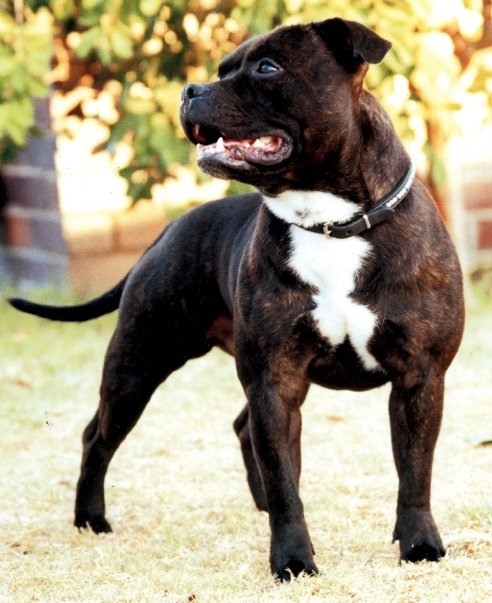 RSA CH  Zeracious Pumbahee  (Pumba).  Pumba was a once in a life-time dog. Sire of 9 champions out of 8 matings. Challenge record holder (59 CC's) from  June 1999 - Oct 2004 . 21 BOB's, 5 Specialty BIS's.
