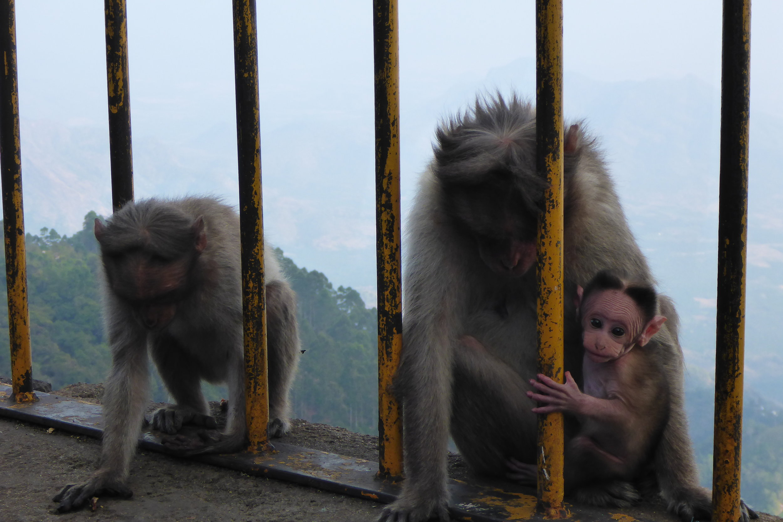 Indian Macaques
