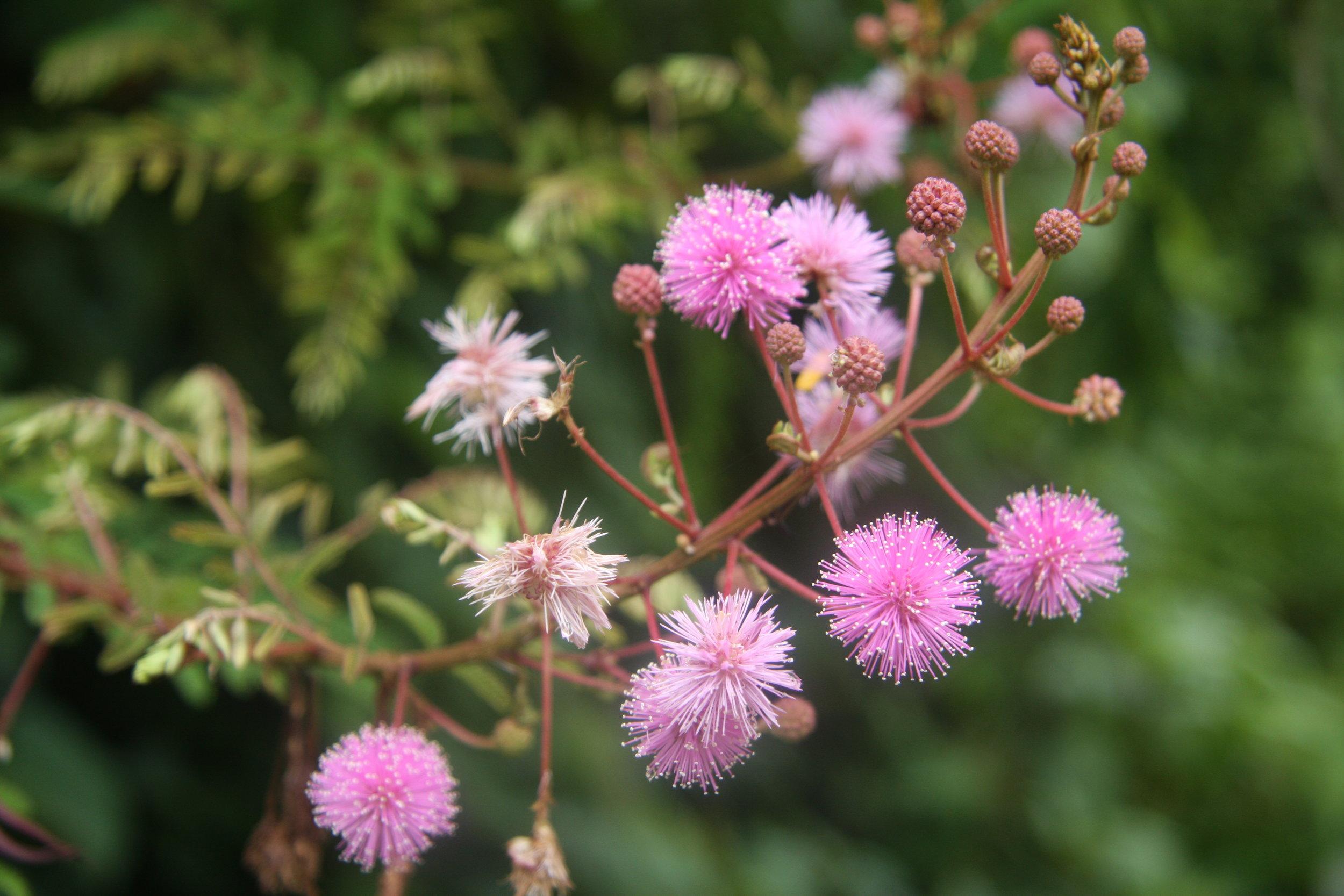 Mimosa himalayana