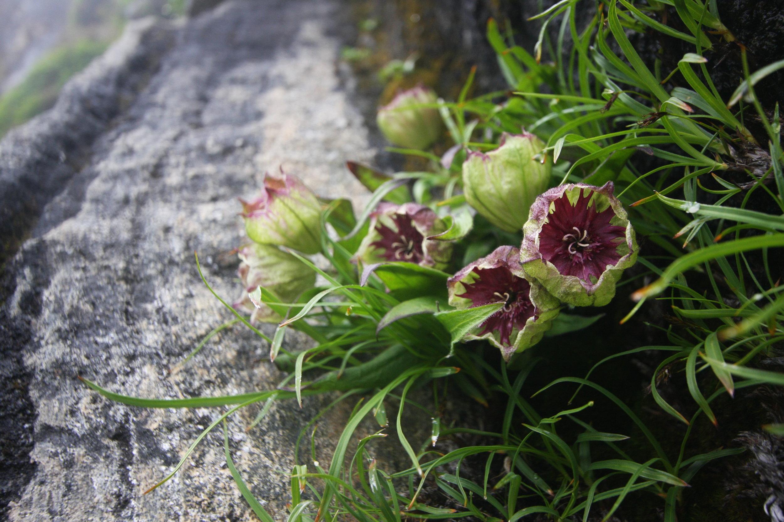 Silene helleboriflora