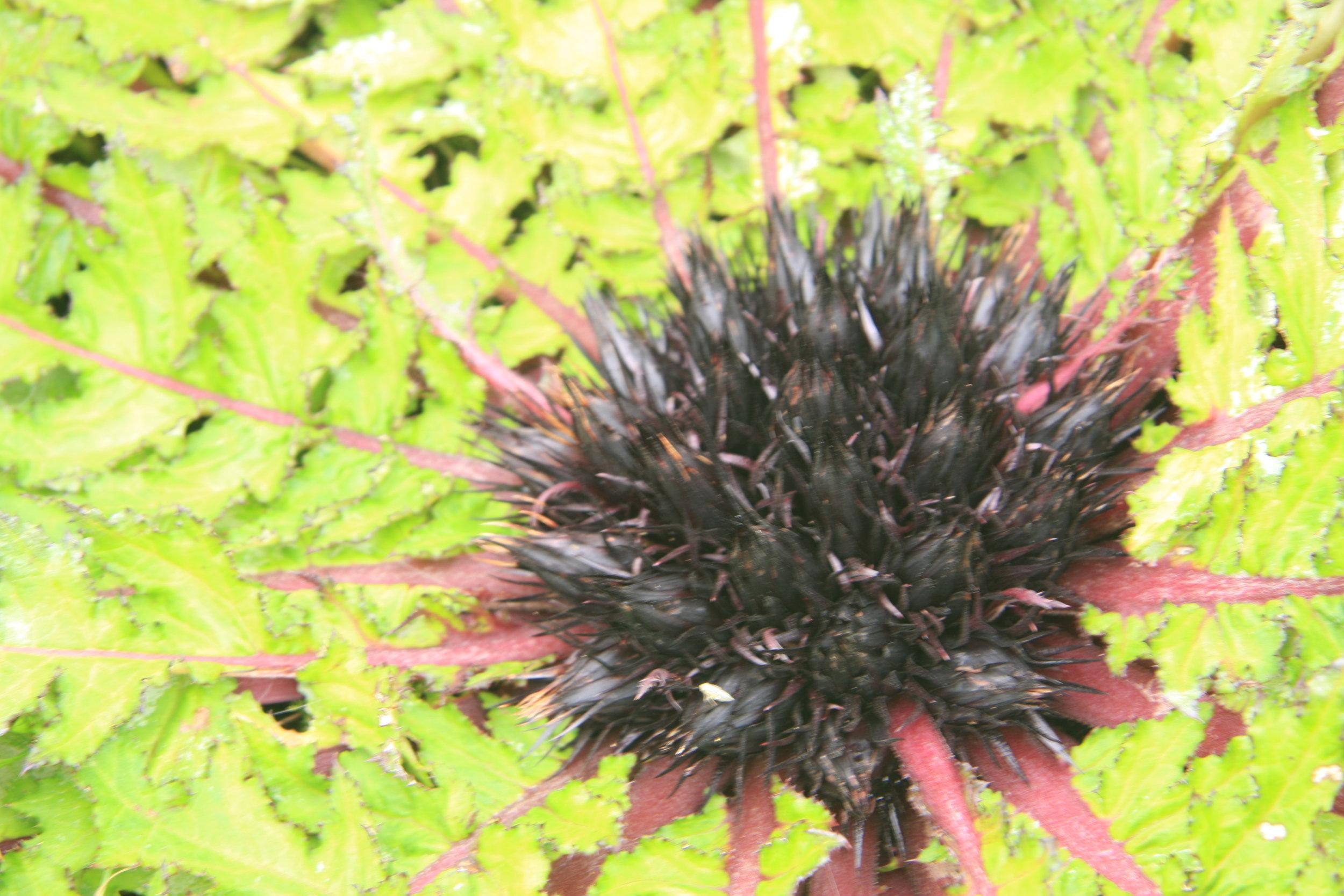 Jurinea dolomiaea Boiss