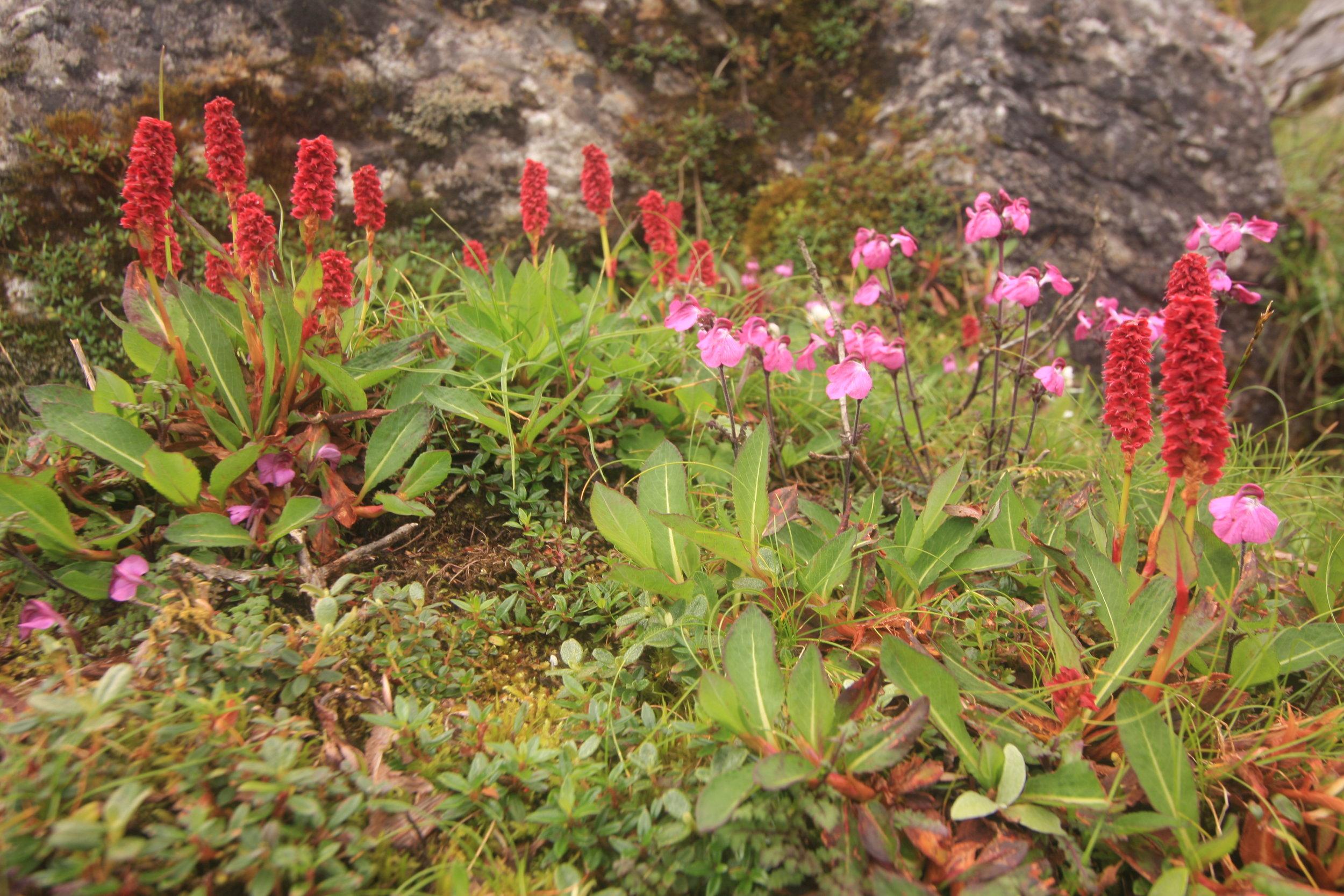 Persicaria and Pedicularis
