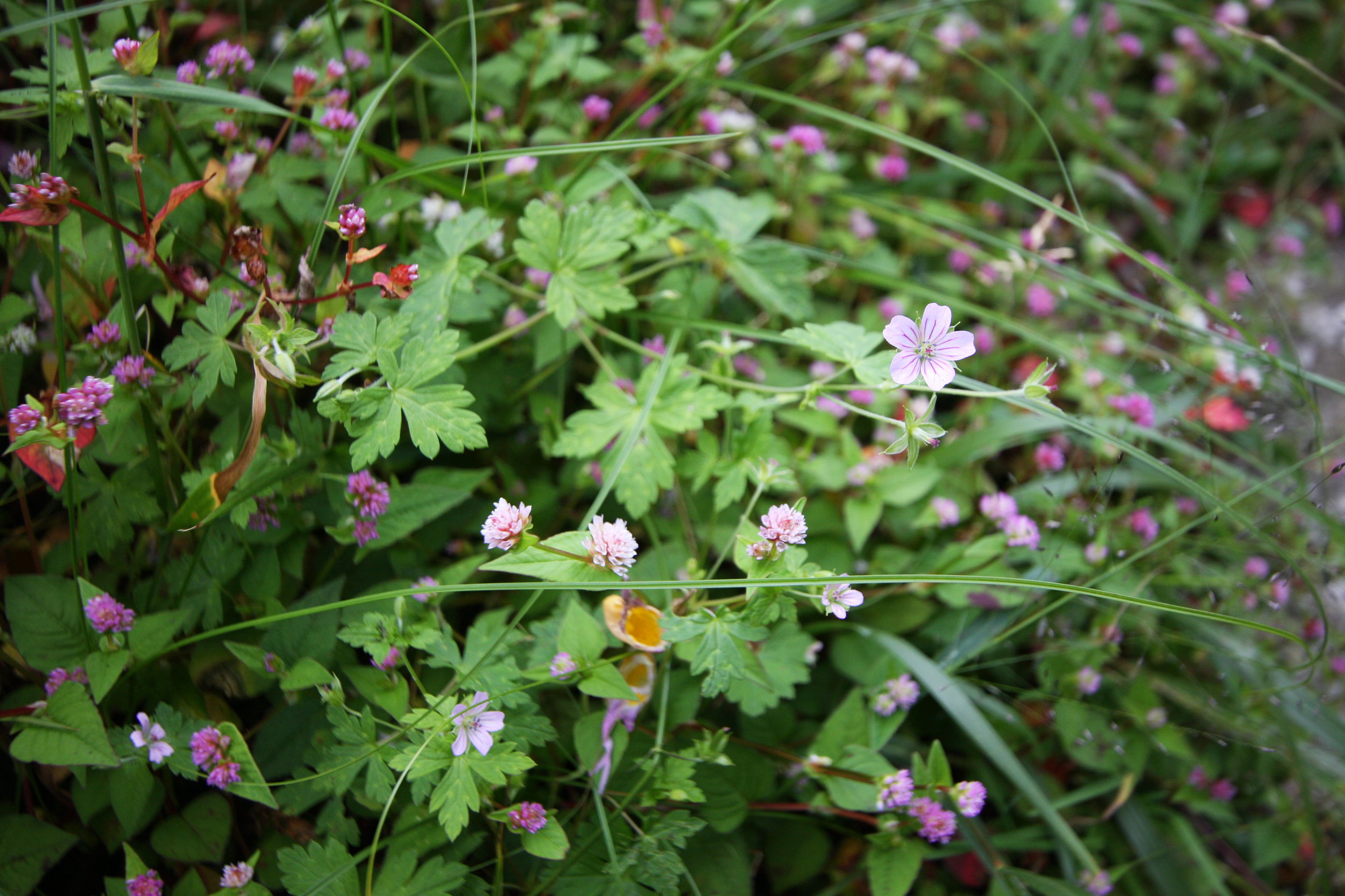 Persicaria alata (Buch.-Ham. ex spreng, Geranium wallachainum D.Don ex Sweet