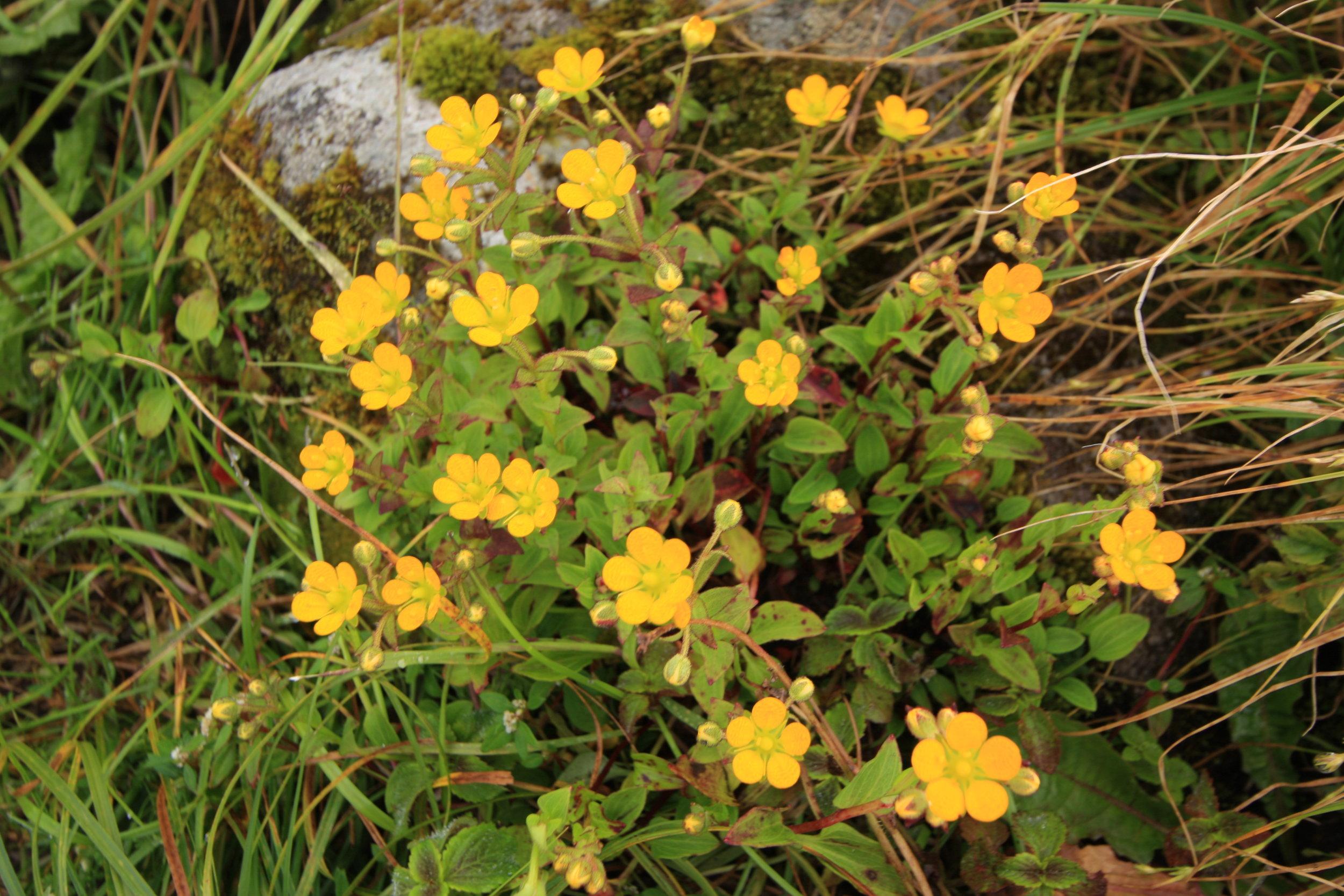 Saxifraga parnassifolia D.Don