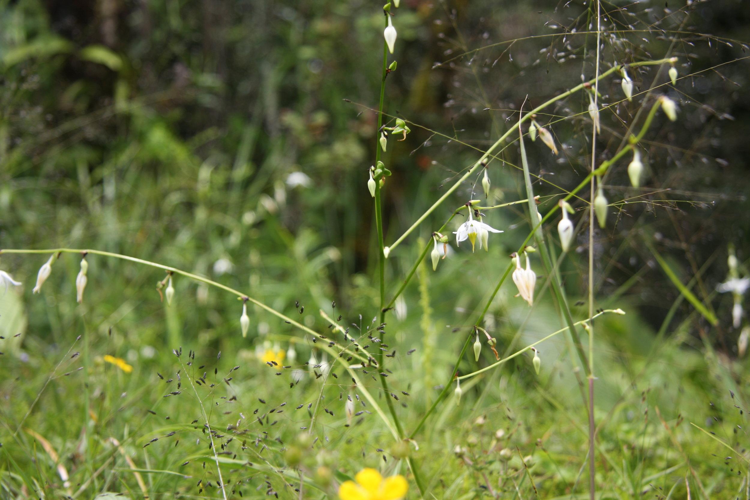 Chlorophytum nepalense (Lindl.) Baker