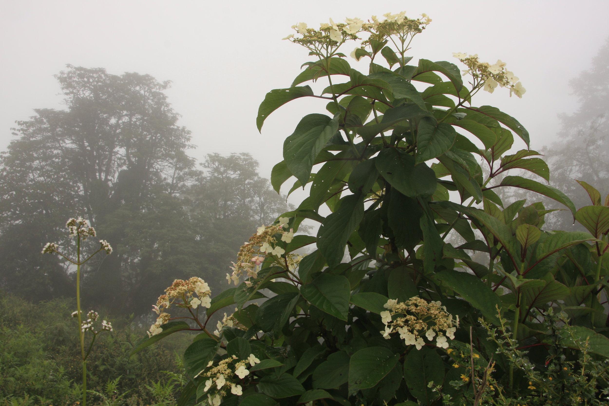 Hydrangea anomala D.Don