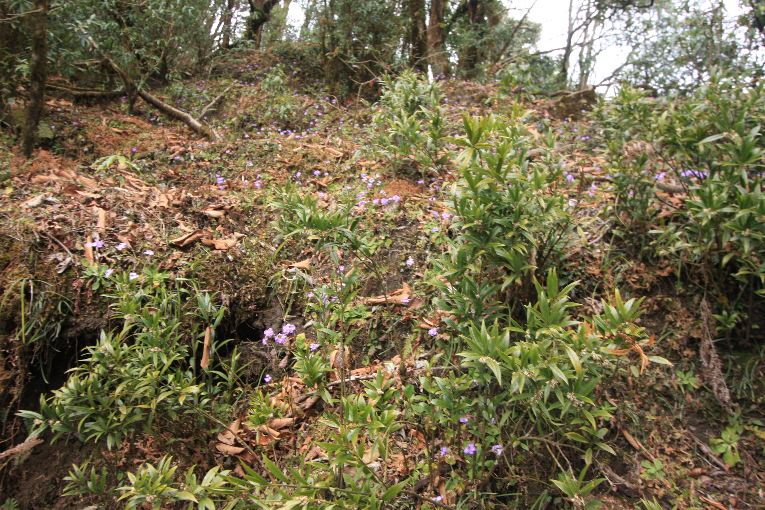 Sarcococca sp. and Primula denticulata