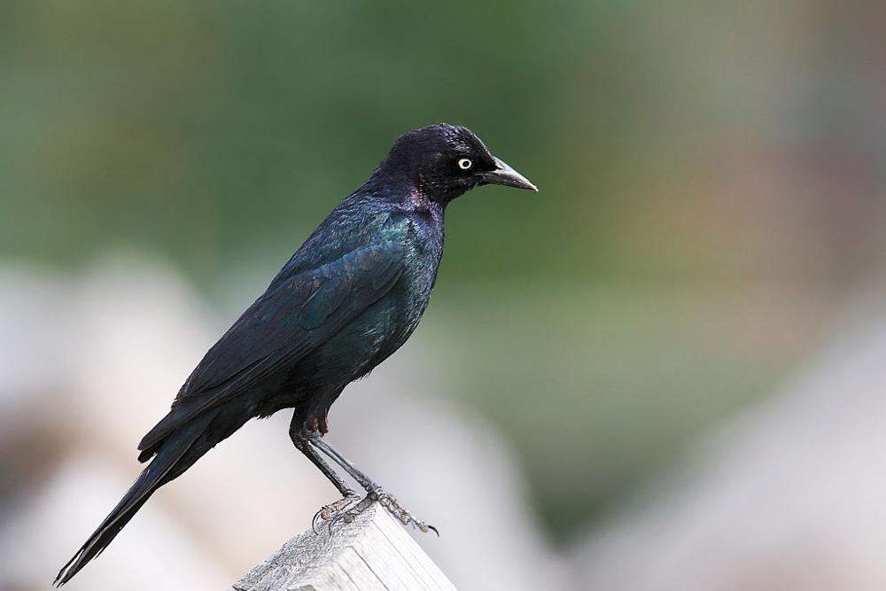 Brewer's Blackbird;  Photo  by Wolfgang Wander