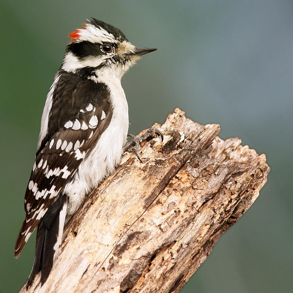 Downy Woodpecker; Photo by Wolfgang Wander
