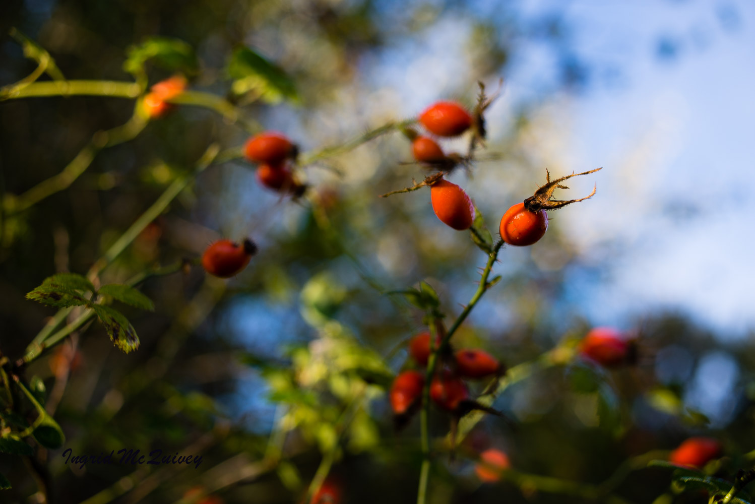 Behind Blueberry Garden Cottage sits a small wildlife habitat. These berries caught my eye. -