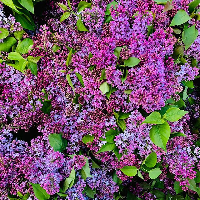 It's my favorite time of year, when the #unionsquare #greenmarket is blooming with so many possibilities! And well, lilacs are my favorite! 💗 Lauren 💗 . . . .#registereddietitian #practicewhatyoupreach #practicemakesperfect #homemademama #nyusteinhardt #nutritionbymama #balancedliving #balancedlife #wholefood #momlife #workingmama #workinmama #homecooking #cookwithlove #simplerecipes
