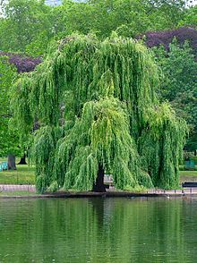 Weeping Willow (we didn't have a lake)