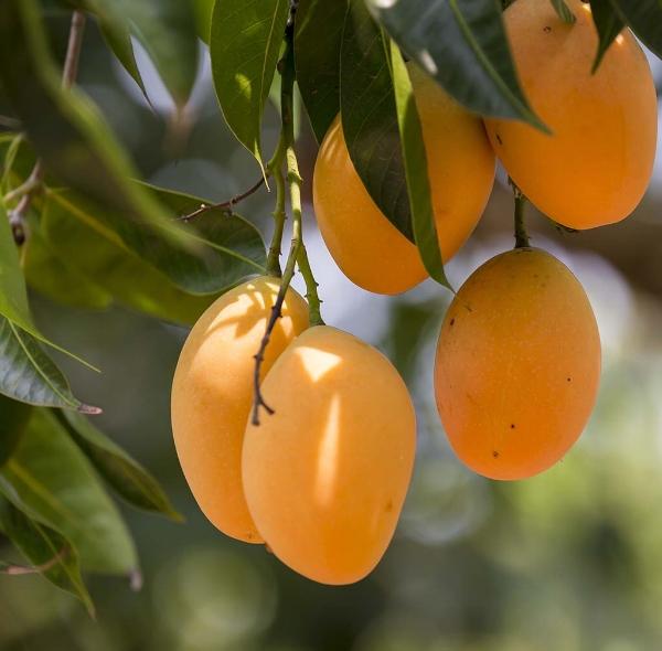 Mangoes on a Mango tree