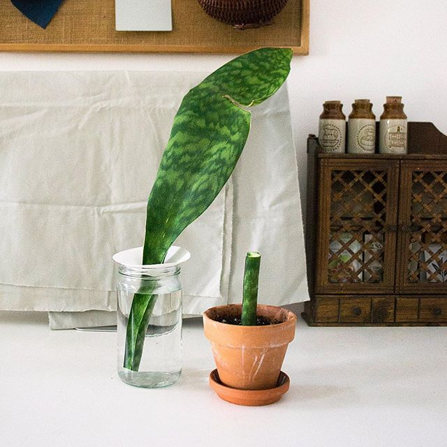 One of my whale fin sansevieria leaves grew etiolated during the winter so I decided to give it a chop! Because this cutting is so top heavy, I'm using the @rt1home propagation cone to prop it up as it roots in a jar of water. I've actually don't usually root sansevieria in water because it seems to take forever (I usually do it in coconut coir, which I find faster), but water propagation is *super* low maintenance so we're doing it this time! ⠀ On the right is a stem cutting from the main leaf put in cactus mix - we'll see how that goes… 🤔 If you want 99% success in rooting, the best is to divide the rhizome (which I've done for this whale fin!), but it's always fun to experiment with different methods, you know? 🐋🌱