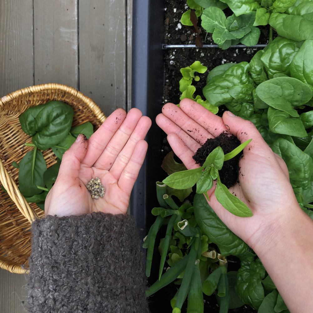 'Samish' Spinach grown from seed, nourished by fertile soil