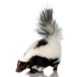 Skunk Control -