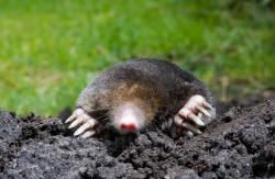 Moles & Voles -