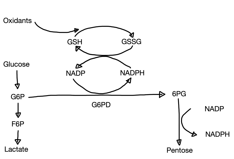 G6PD.jpg