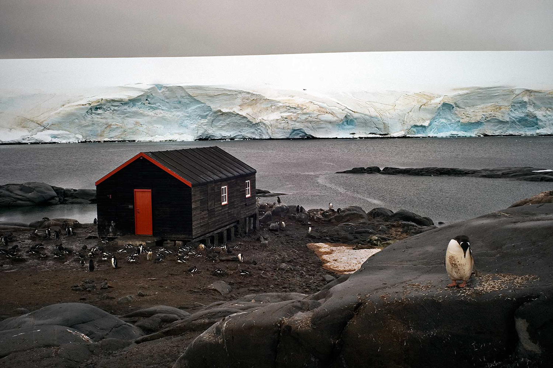 Gentoo Penguin at Port Lockroy, Antarctic Peninsula - A Penguin's Life