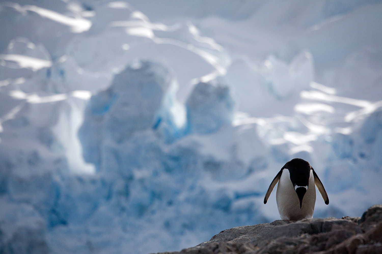 Gentoo with Glacier, Antarctic Peninsula - A Penguin's Life