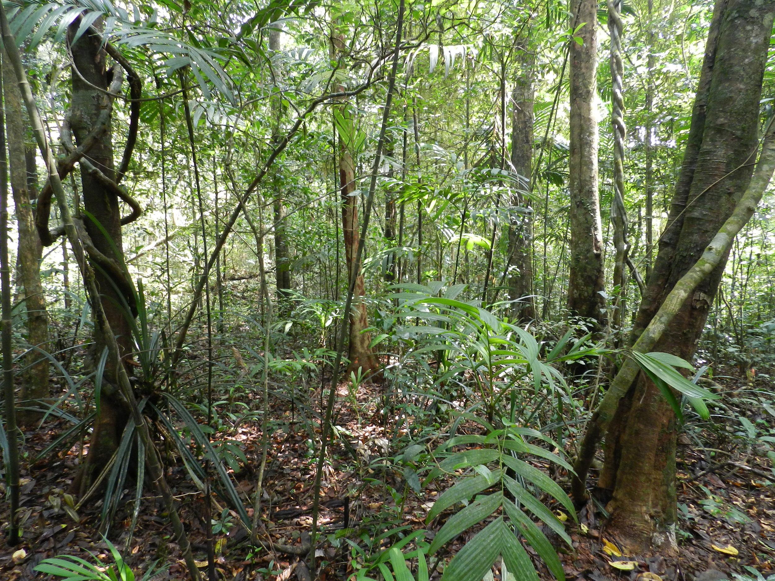 Tropical_rainforest_Agumbe.jpg