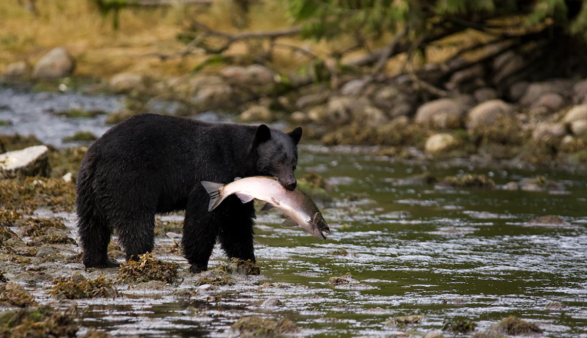 Bear in mind… - Wild salmon is a seasonal food to be celebrated and savoured with respect. Sometimes, wild salmon may not be included on the menu or shelves of a Get Wild! registered business. In this case, your server or vendor can recommend other seasonal seafood for you to enjoy.