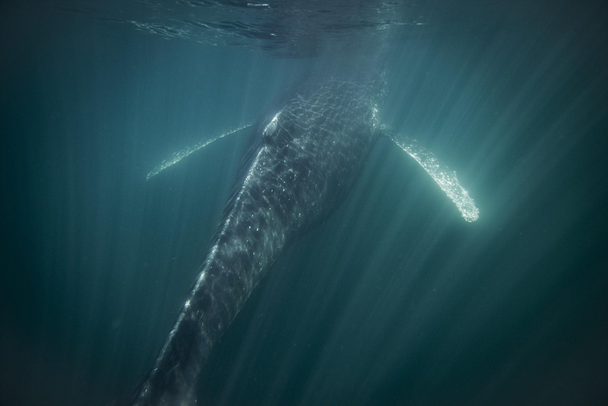 kyler vos photography humpback