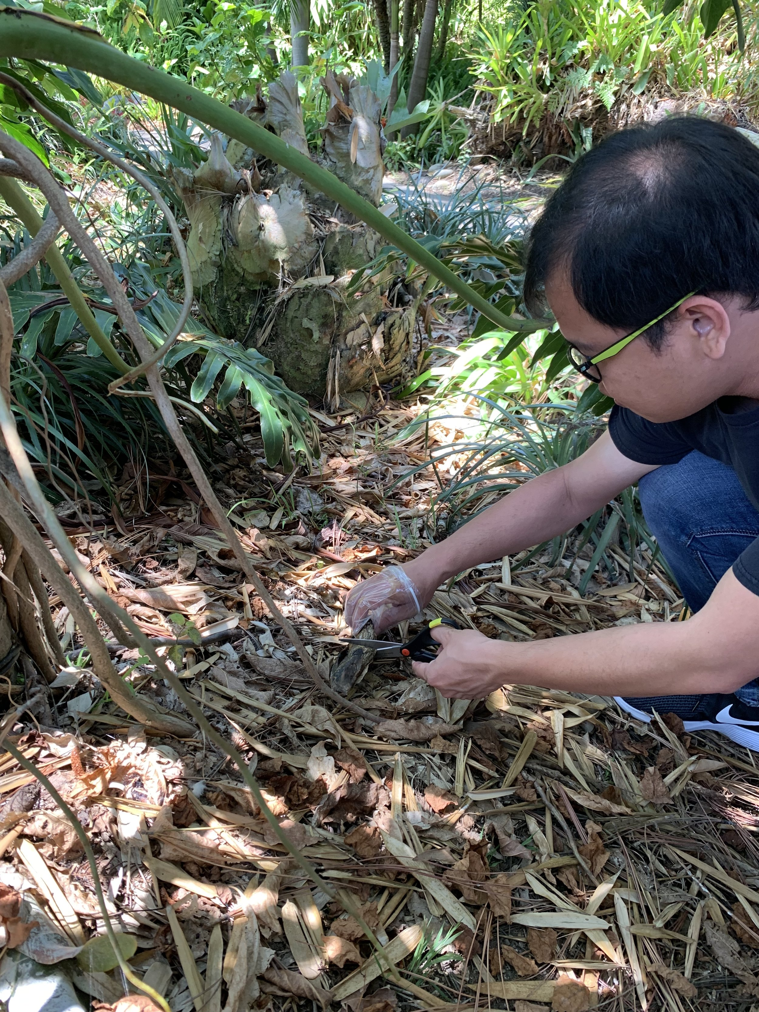 Tuan sampling some disgusting rotten fruit from what looks like Philodendron bipinnatifidum.