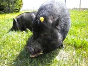 Pugs with a dandelion in his hair, and Rebel
