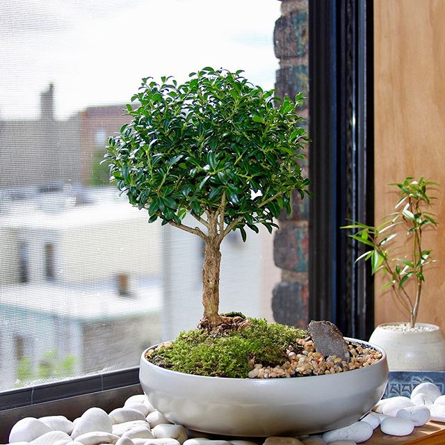 DIY Weekend Project B O N S A I 🌳    Japanese Holly (Ilex Crenata) - BEFORE & AFTER    My 3rd attempt in creating Bonsai out of an affordable potted nursery plants    The next fulfilling journey now is caring for it and making sure it grows Happy & Healthy so as to appreciate all it's inner qualities ART   AESTHETICS   PATIENCE   SELF DISCIPLINE    CONTEMPLATION......✨    #bonsai #bonsaiart