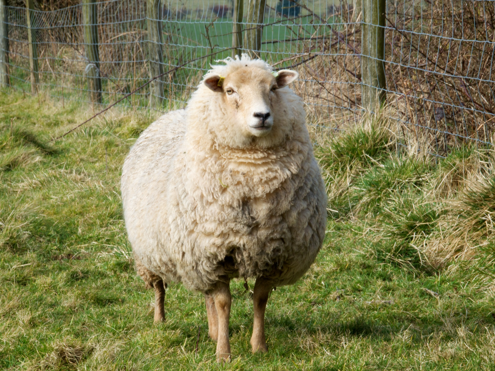 Fernhill Farm Full Wool Sheep 035.jpg