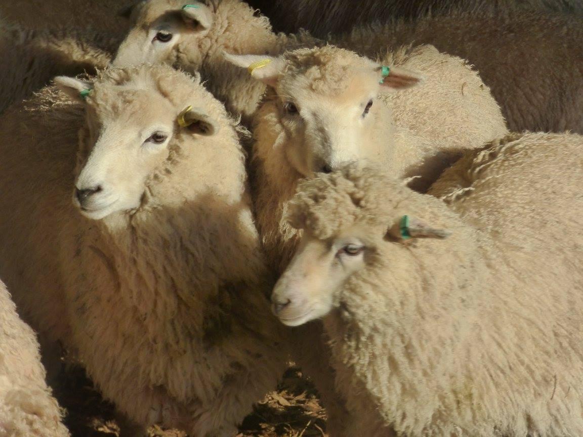 Romney Shetland lambs.jpg