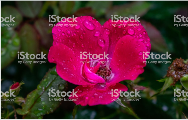 Raindrops on Roses
