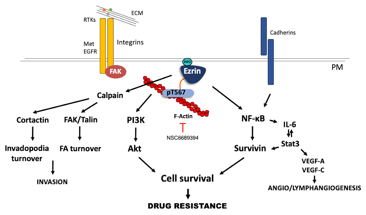 Ezrin pathway in cancer.