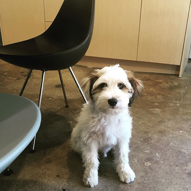Happy Monday! It's been a busy couple of months but wanted to introduce Parker- our new office mate. He's part-time now but hopefully will be full-time soon- needs to stop eating the drawings. #officedog #tibetanterrier #dropchairs #fritzhansen