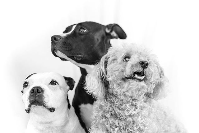 Ruff crowd the other day... #doggieportrait #dogsofinstagram #blackandwhitephotography #puppies #pupportrait #dogphotography