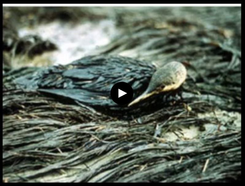The Environmental Sacrifice: The Santa Barbara Oil Spill of 1969 .  Independent documentary video - 2019